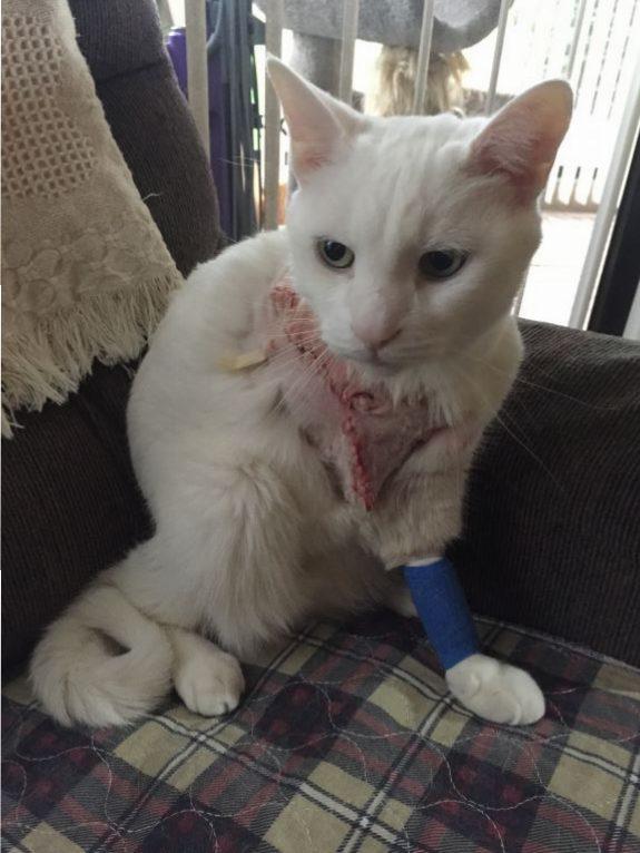 Tripawd cat pain management